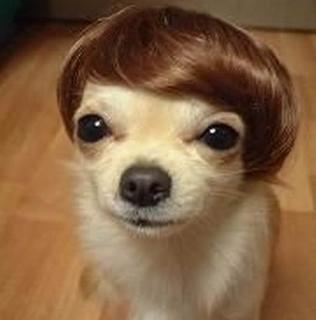 Suave Chihuahua