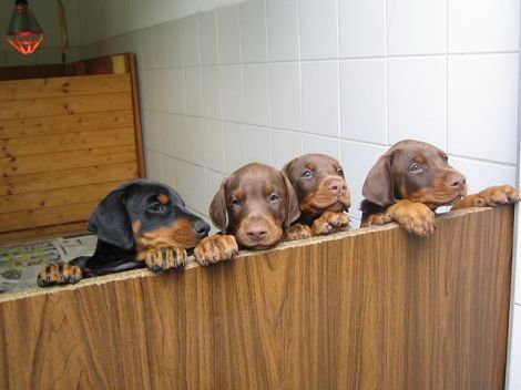 Dobie Puppies